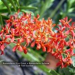 Renanthera Fire Coral x Renanthera Kalsom