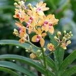 Renanthera philippinensis x Vanda palor