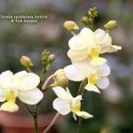 Vanda spathulata hybrid