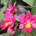 Cattleytonia Why Not hybrid