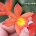 Cattleytonia Why Not hybrid2