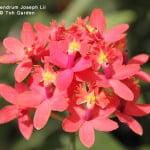 Epidendrum Joseph Lii