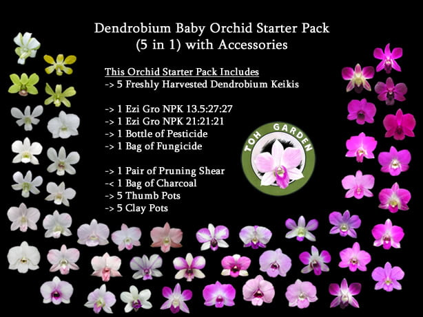 Dendrobium Baby Orchid Starter Pack for Home Growers (5 in 1) with Accessories