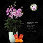Dendrobium Mother Theresa