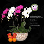 Phalaenopsis Two Colours (4 in 1)