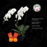 Phalaenopsis White (2 in 1)