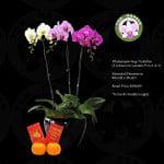 Phalaenopsis Three Colours (3 in 1)