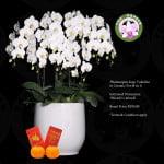 Phalaenopsis White (8 in 1)