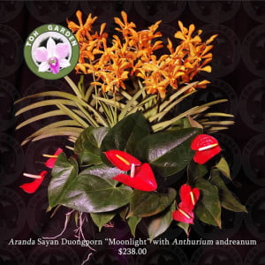 "Aranda Sayan Duongporn ""Moonlight"" with Anthurium andreanum"