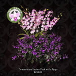 Dendrobium Lucian Pink with Ajuga