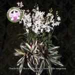 Dendrobium Shavin White with Stromanthe sanguinea