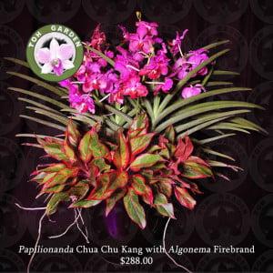 Papilionanda Chua Chu Kang with Algonema hybrids