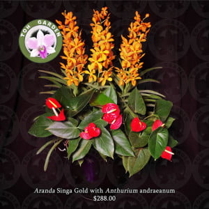 Aranda Singa Gold with Anthurium andreanum