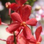 Aranda Sumalee Red