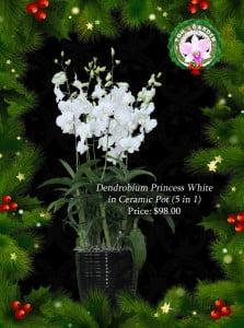 Dendrobium Princess White in Ceramic Pot (5 in 1)