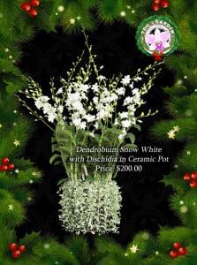 Dendrobium Snow White with Dischidia in Ceramic Pot
