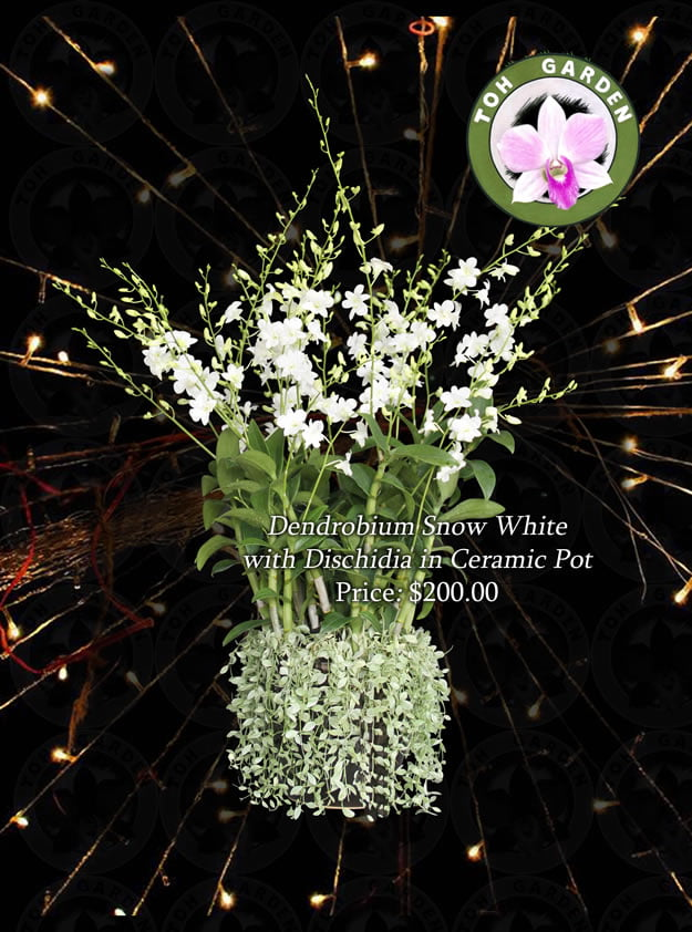 Dendrobium Snow White with dischidia