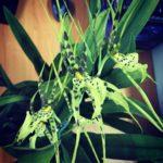 Brassia Rex