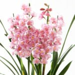 Orchids for Chinese New Year 2017