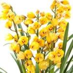Cymbidium Yellow