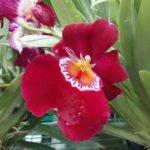 Miltonopsis Red