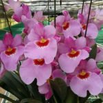 Miltonopsis Pink