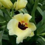 Miltonopsis Yellow
