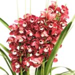 Cymbidium Red Wine