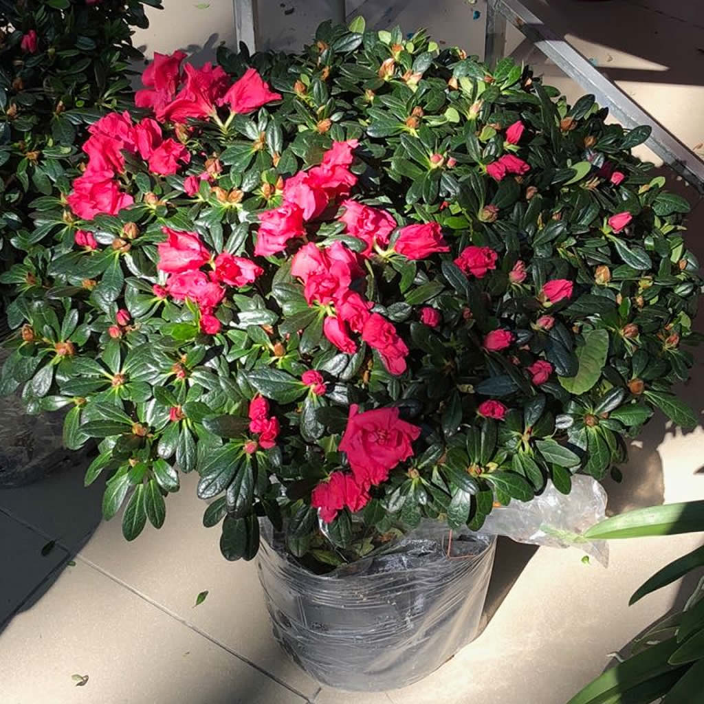 Azalea, Rhododendrum