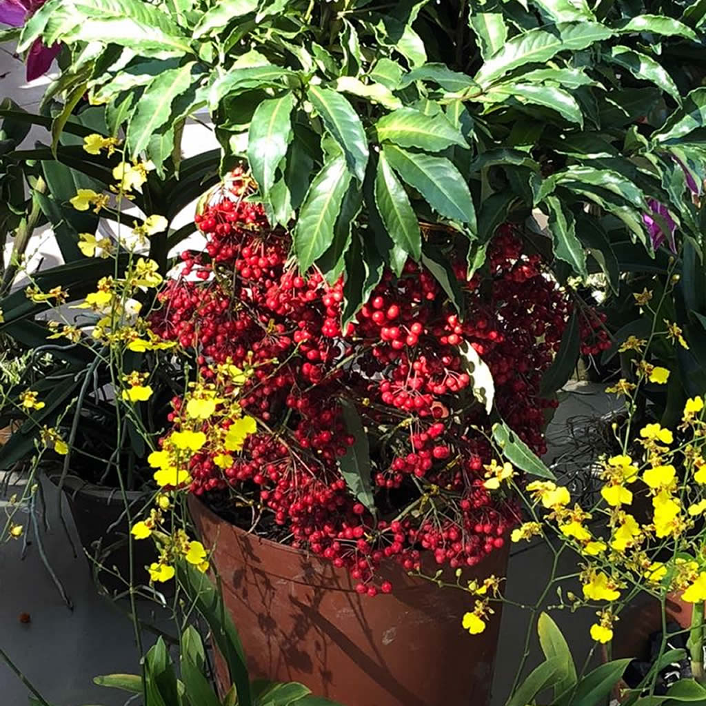 Red Bead Plant