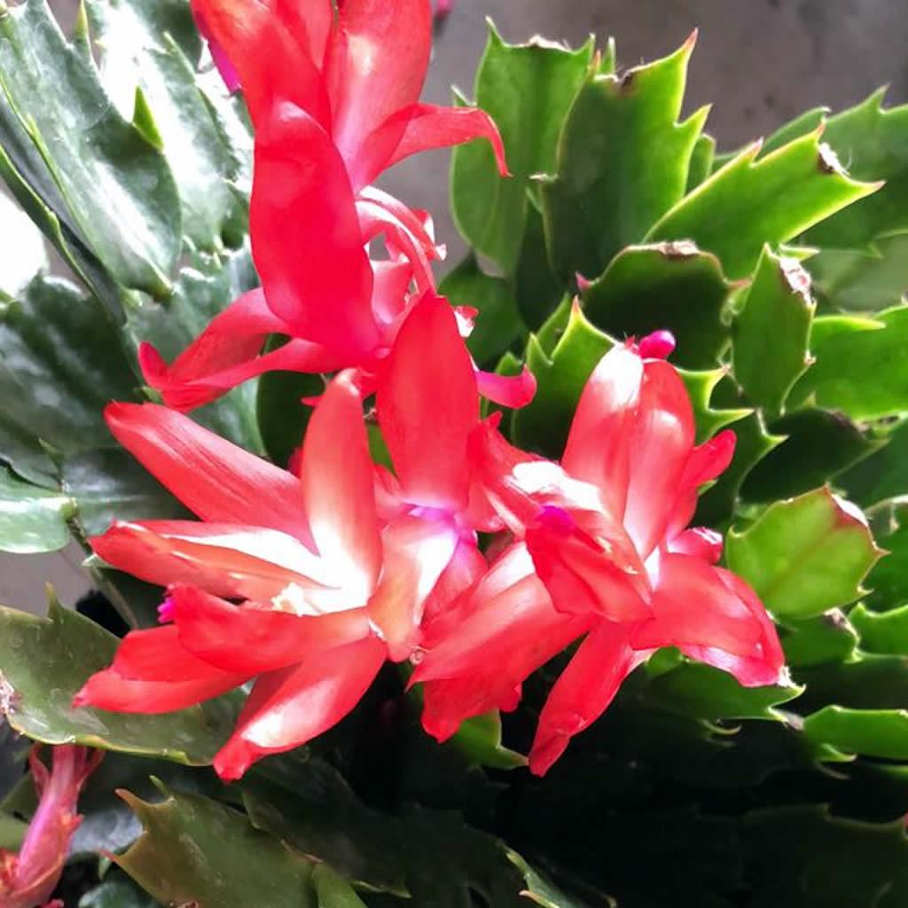 Cactus (Schlumbergera truncata)