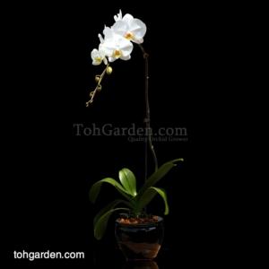 Phalaenopsis Sogo Yukidien White in Ceramic Pot (1 in 1)