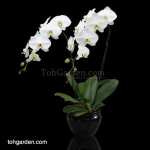Phalaenopsis Sogo Yukidien White in Ceramic Pot (2 in 1)