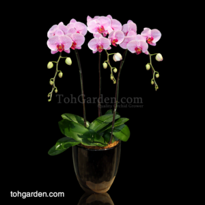 Phalaenopsis Novelty Pink Spotted in Ceramic Pot (3 in 1)