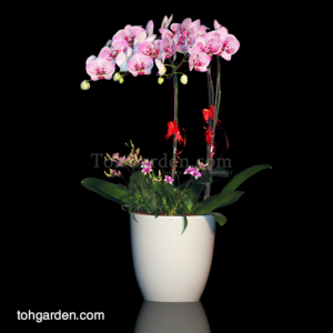 Phalaenopsis Novelty Pink Spotted with Mini Dendrobiums (3 in 1)