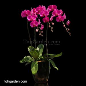 Phalaenopsis Sogo Yukidien Red in Ceramic Pot (3 in 1)