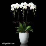 Phalaenopsis Sogo Yukidien White in Ceramic Pot (3 in 1)