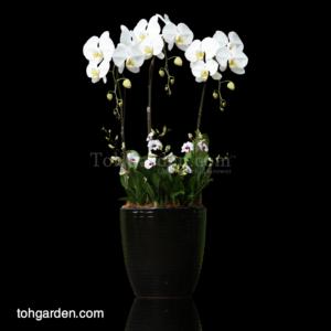 Phalaenopsis Sogo Yukidien with Mini Dendrobiums in Ceramic Pot (3 in 1)