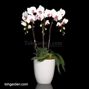 Phalaenopsis White with Red Lip in Ceramic Pot (3 in 1)