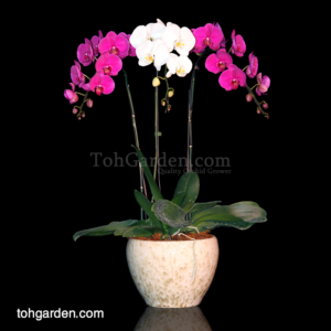 Phalaenopsis Mixed (2 colours) in Ceramic Pot (3 in 1)