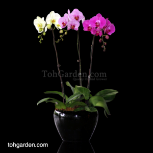 Phalaenopsis Mixed (3 colours) in Ceramic Pot (3 in 1)