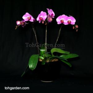 3 in 1 Pink Phalaenopsis in ceramic pot