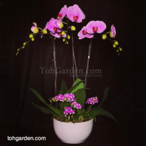 3 in 1 Pink Phalaenopsis with Mini Dendrobiums in ceramic pot