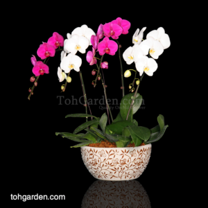 Phalaenopsis Mixed (2 colours) in Ceramic Pot (4 in 1)