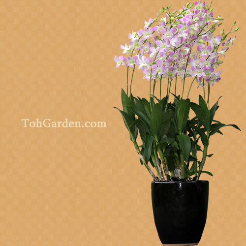 5-in-1 Dendrobium Lucian Pink in Ceramic Pot $125