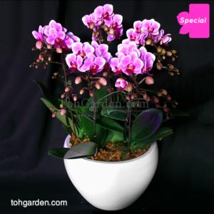 5 in 1 Pink Mini Phalaenopsis in ceramic pot