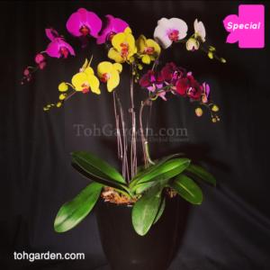 5 in 1 Multicolour Phalaenopsis in ceramic pot