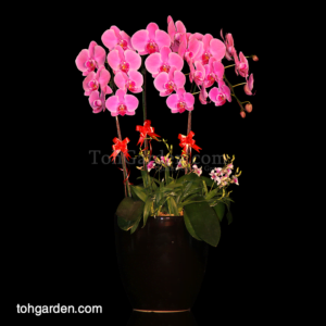 Phalaenopsis Pink with Mini Dendrobiums in Ceramic Pot (5 in 1)