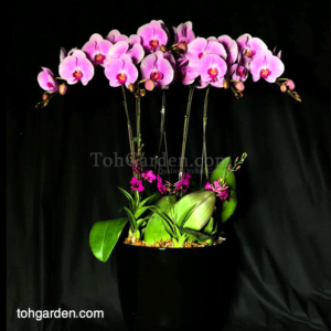 5 in 1 Pink Phalaenopsis with Mini Dendrobiums in ceramic pot