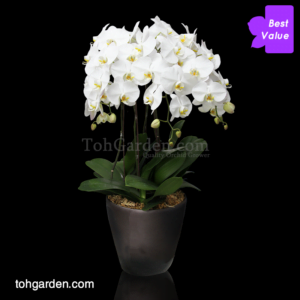5-in-1 Phalaenopsis Sogo Yukidien White in Ceramic Pot